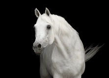White arabian horse stallion portrait on black royalty free stock images
