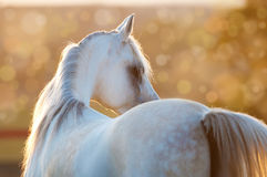 White arabian horse in the sunrise Royalty Free Stock Photo