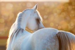 White arabian horse in the sunrise. White horse in the sunrise, Arabian stallion Royalty Free Stock Photo