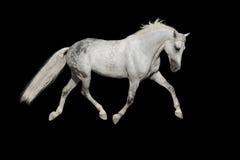 White arabian horse Stock Images