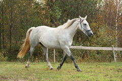 White arabian horse trotting in the forest Royalty Free Stock Photography