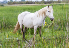 White arabian horses Stock Photos