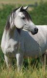 White arabian mare Stock Images