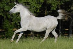 White arabian mare Stock Image