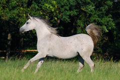 White arabian mare Royalty Free Stock Image