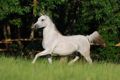 White arabian mare Royalty Free Stock Images