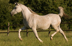 White arabian mare Royalty Free Stock Photography