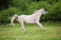 White Arabian mare running in front of green background Royalty Free Stock Photos
