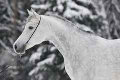 White arabian portrait in winter. White arabian horse portrait in winter Royalty Free Stock Photos