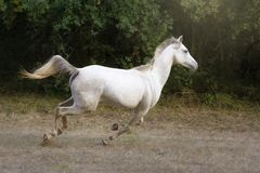 White Arabian horse galloping in the meadow. White Arabian purebred horse showing its beauty and strength galloping in a field stock image