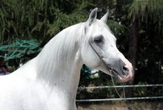 White arabian stallion Royalty Free Stock Images