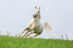 White Arabian stallion. Royalty Free Stock Image