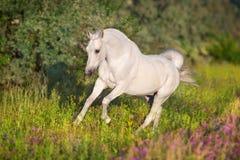 White arabian stallion royalty free stock images