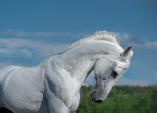White arabian stallion portrait on blue sky background. The white arabian stallion portrait on blue sky background royalty free stock image
