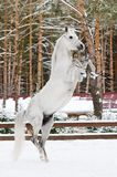 White arabian stallion portrait in winter Royalty Free Stock Photo