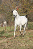 White arabian stallion running Stock Image