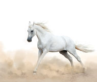 White arabian stallion running in the dust. Over a white background Royalty Free Stock Images