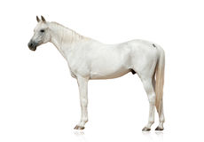 White arabian stallion Royalty Free Stock Image