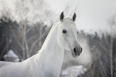 White arabian in winter Stock Image