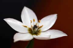White Arabicum flower. On a dark context Royalty Free Stock Photos