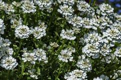 White Arabis alpina Caucasica flower at garden. Zavet, Bulgaria Stock Images