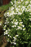 White Arabis alpina Stock Photo