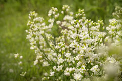 White arabis caucasica flowers Royalty Free Stock Image