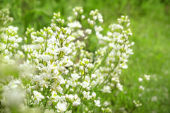 White arabis caucasica flowers Royalty Free Stock Images
