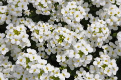 White arabis caucasica flowers Stock Image