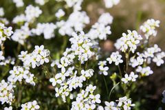 White arabis caucasica flowers in the garden. royalty free stock image
