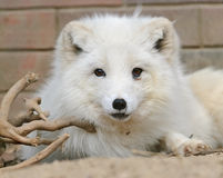 White arctic fox close up portrait Stock Photography