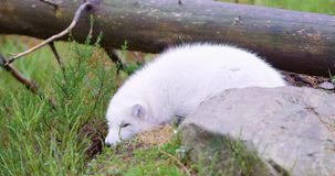 White arctic fox lies and rests at forest floor in the late fall stock video