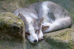 White arctic fox lies on stones royalty free stock photos