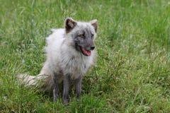 White arctic fox Stock Photography