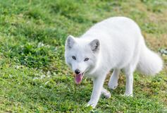 White Arctic Fox Out-of-Breath Stirring at You. Beautiful arctic fox showing his tongue and looking at you deep in the eyes Royalty Free Stock Images