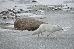White arctic fox on the run. An arctic fox in winter coat trots away from a polar bear on the frozen ice during a snow storm stock images