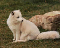 White Arctic fox. Sitting in the grass Stock Images