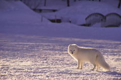 White Arctic Fox in Snow at Daytime Stock Images