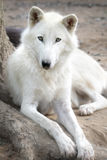 White Arctic Wolf Royalty Free Stock Photos