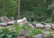 White arctic wolf Canis lupus arctos Royalty Free Stock Images