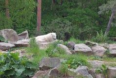 White arctic wolf Canis lupus arctos Stock Photos