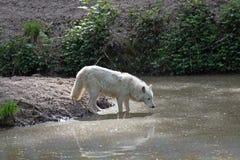 White arctic wolf Canis lupus arctos Royalty Free Stock Photos