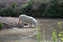 White arctic wolf Canis lupus arctos Stock Image