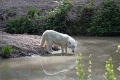 White arctic wolf Canis lupus arctos Stock Photo