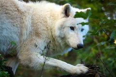 White arctic wolf lurking in a forest Royalty Free Stock Image