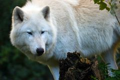 White arctic wolf lurking in a forest. White wild arctic wolf lupus arctos lurking in a forest Stock Images