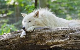 White arctic wolf lying Royalty Free Stock Photography