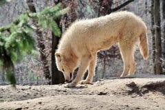 White Arctic Wolf Portrait Canis Lupus Arctos Stock Photo. White Arctic Wolf Portrait Canis Lupus Arctos Smelling  Stock Photo stock photo