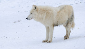 White arctic wolf in a winter forest Stock Image