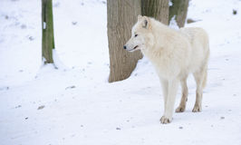 White arctic wolf Royalty Free Stock Photo